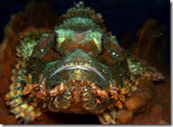 scorpion-fish-full-face