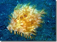 JOHNNY - WEEDY FILEFISH
