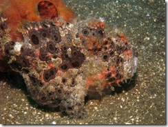 One Not Happy & In Pain Frogfish