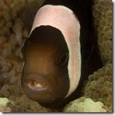 anemonefish with Cymothoa