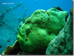 Giant Frogfish Original