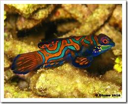 Mandarinfish Solo JPG