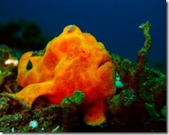 17 Frogfish Orange
