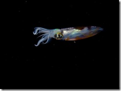 Bigfin reef squid - Sepiotheutis lessoniana small