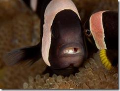 Saddleback with Tongue Eating Isopod