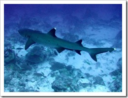 whitetip_reef_shark