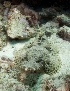 crocodile fish in bunaken