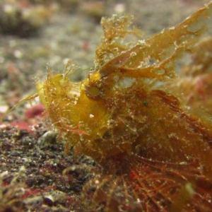 ambon scorpionfish in Lembeh
