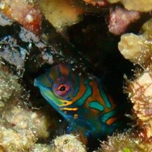 mandarin fish dives on Bunaken