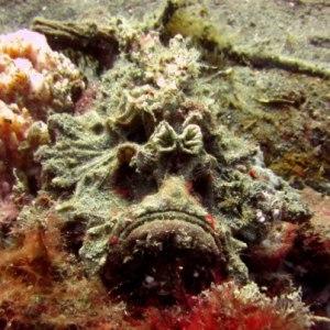 humungous Stonefish