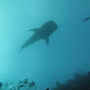 whale shark in bunaken